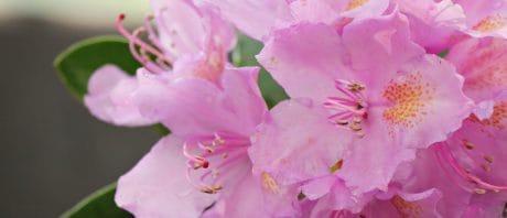 листа, Градина, флора, природа, розово цвете, венчелистче, лято, растителна