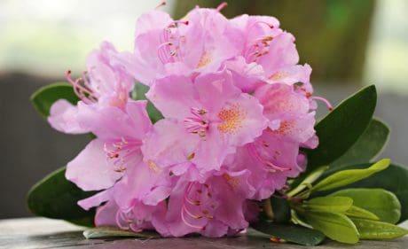 флора, листа, природа, венчелистче, градински, розови цветя, растения