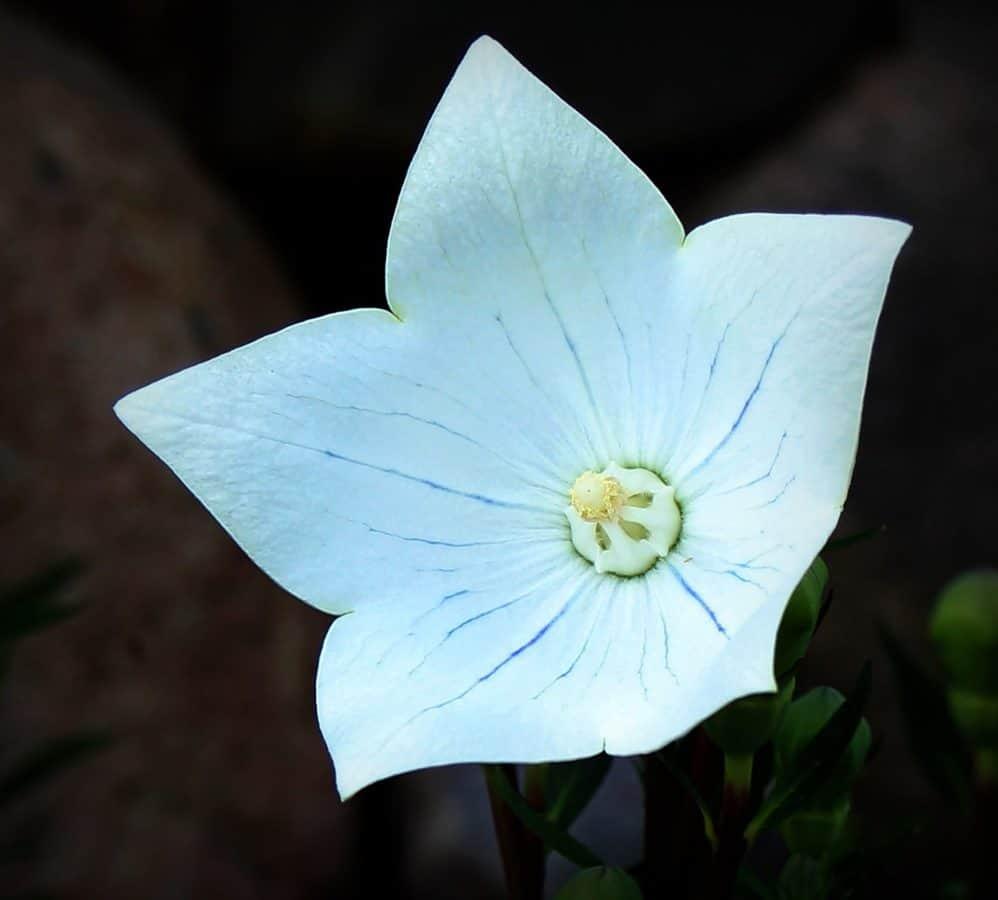 pistillo, macro, foto studio, ombra, natura, petalo, flora, fiore bianco, pianta