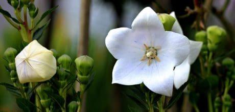 blanca flor, flora, hoja, naturaleza, jardín, planta, hierba