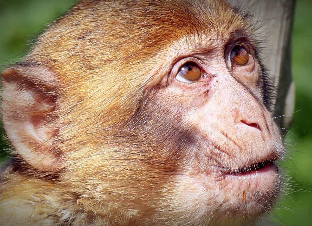 dyr, abe, ansigt, hoved, natur, dyreliv, primat, vilde