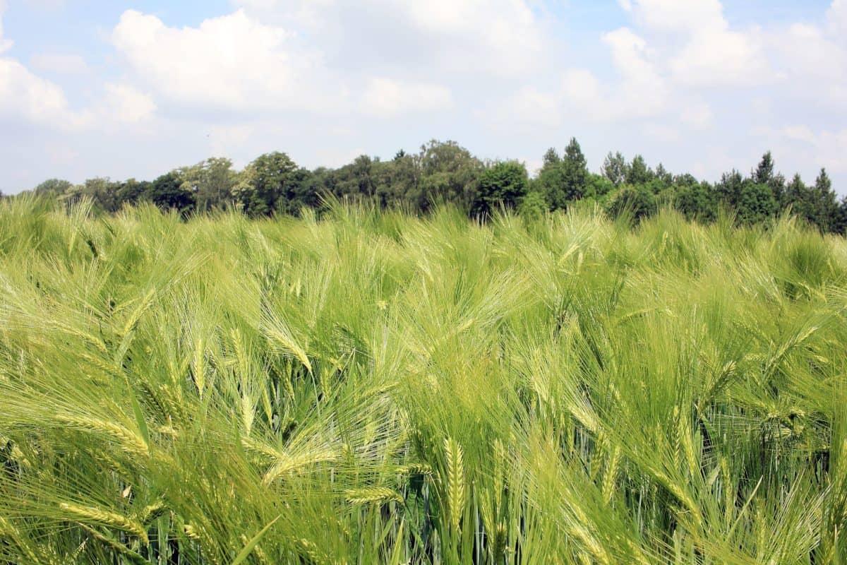 campagne, nature, céréales, été, champ, l'agriculture