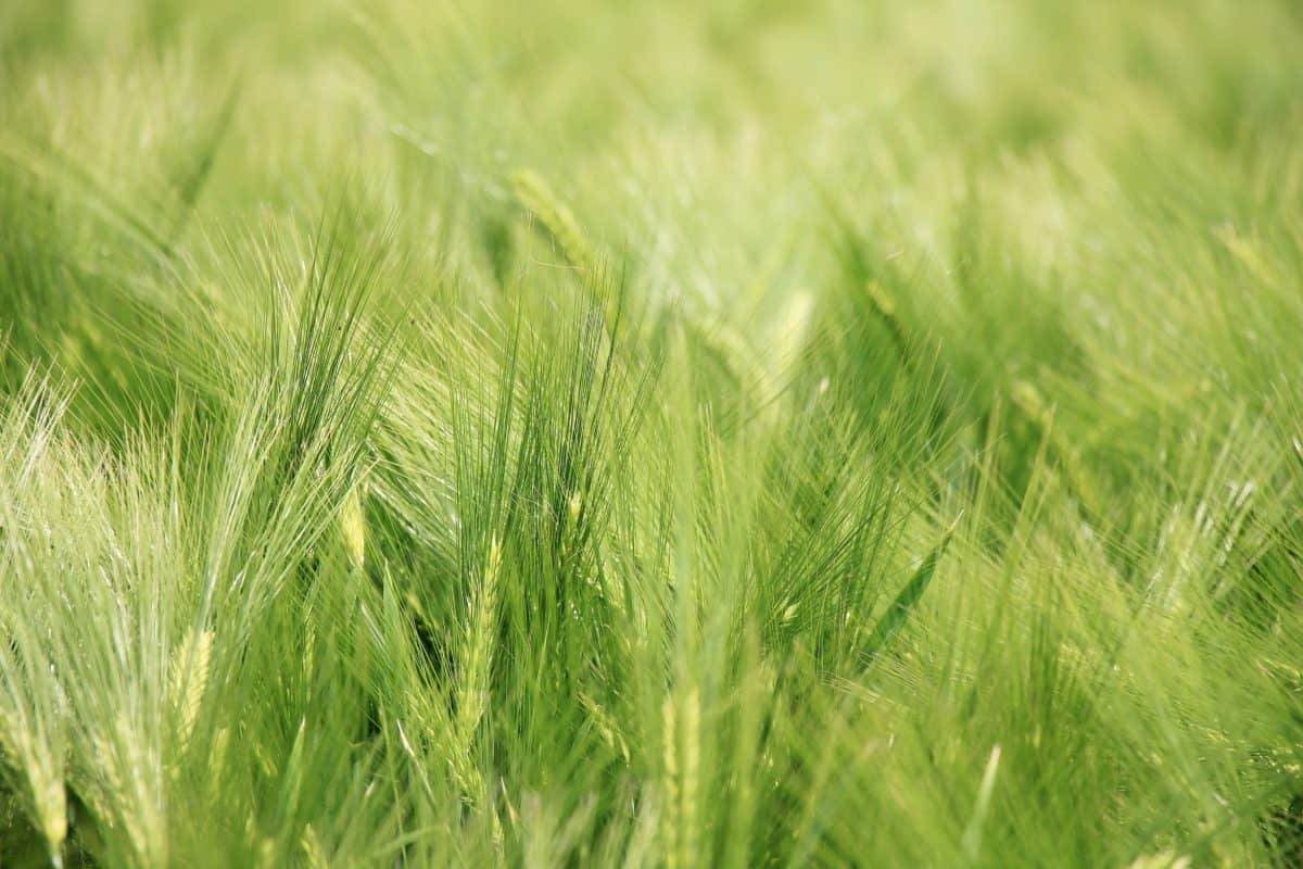 field, straw, grass, nature, summer, cereal, agriculture