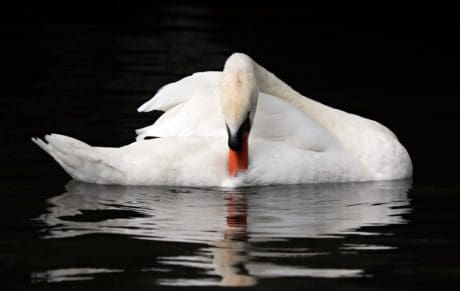 white swan, bird, reflection, water, wildlife, animal, outdoor