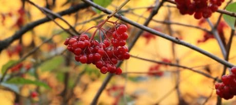 arbuste, berry, feuilles, fruits, nature, branche, nourriture, plein air