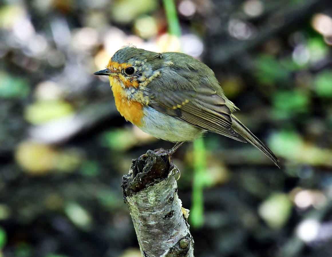 Reinita Amarilla, naturaleza, vida silvestre, pájaro, animal, salvaje, naturaleza madera, plumas,