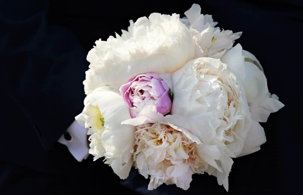 nature, plante, pétale, rose blanche, ombre