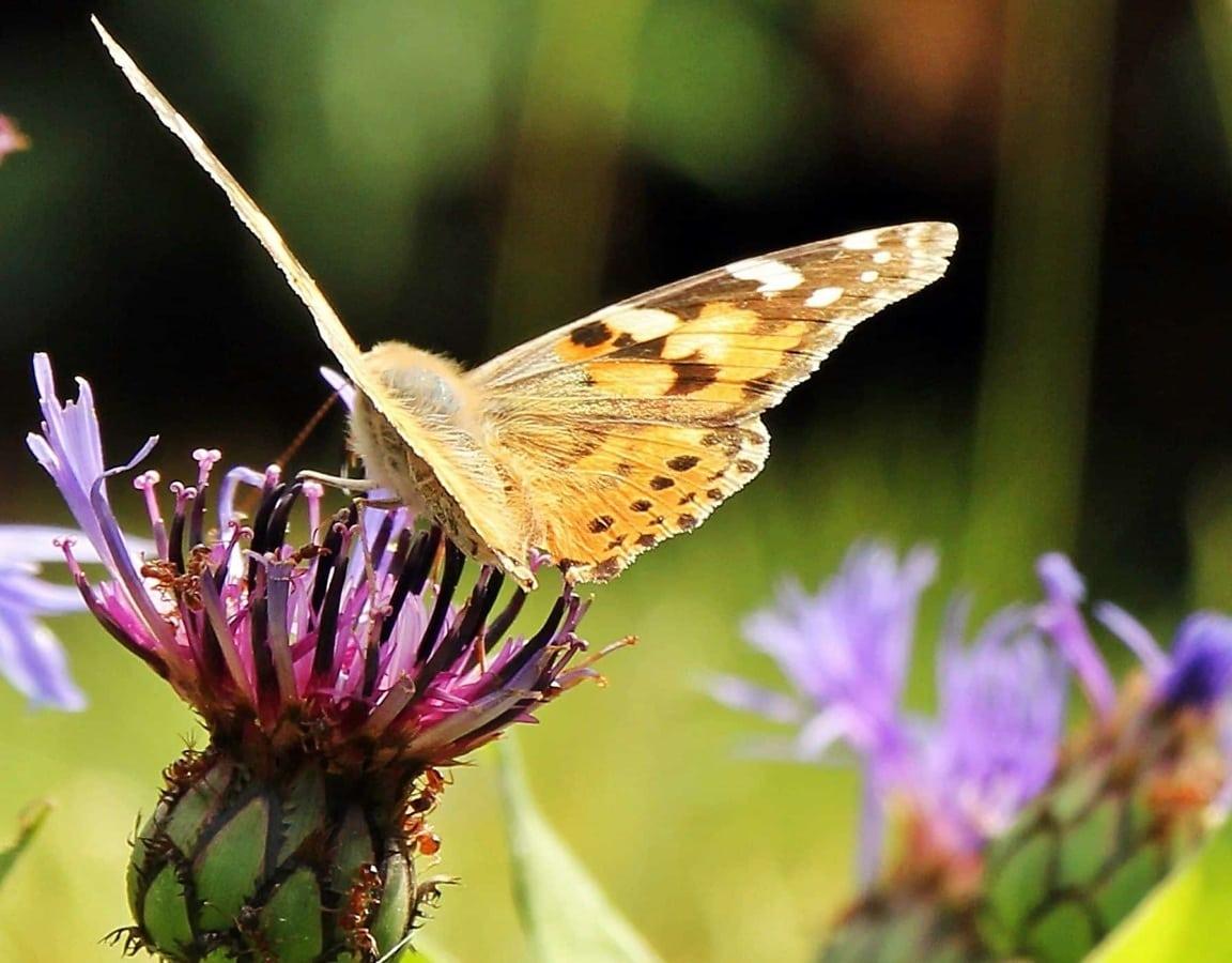 цвете, молец, насекоми, дива природа, крило, пеперуда, природа, лято
