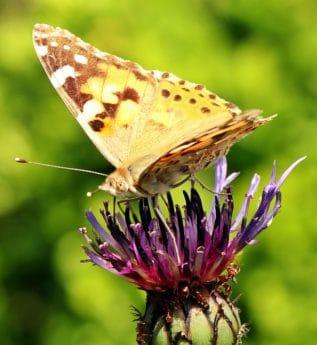 hmyz, motýl, přírody, volně žijící zvířata, květina, léto, zvíře