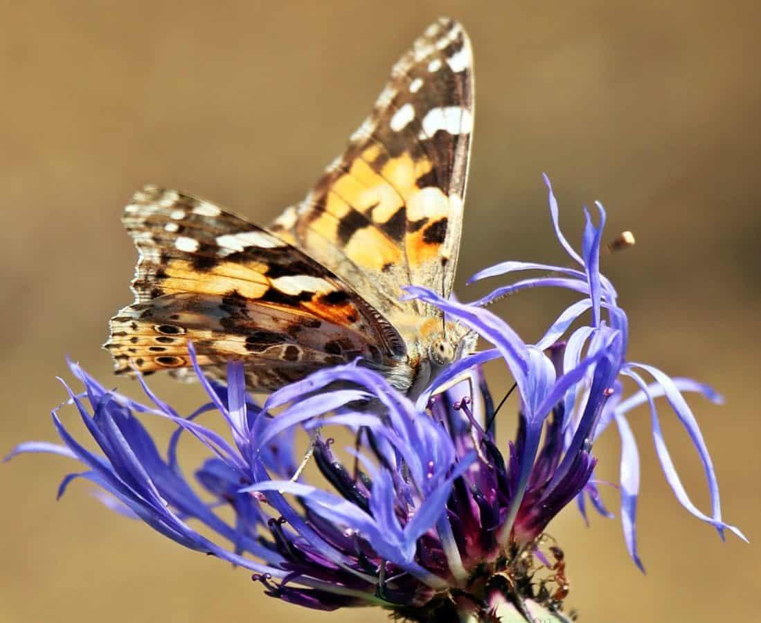 la faune, nature, papillon de nuit, l'été, fleur, insecte, papillon, animal