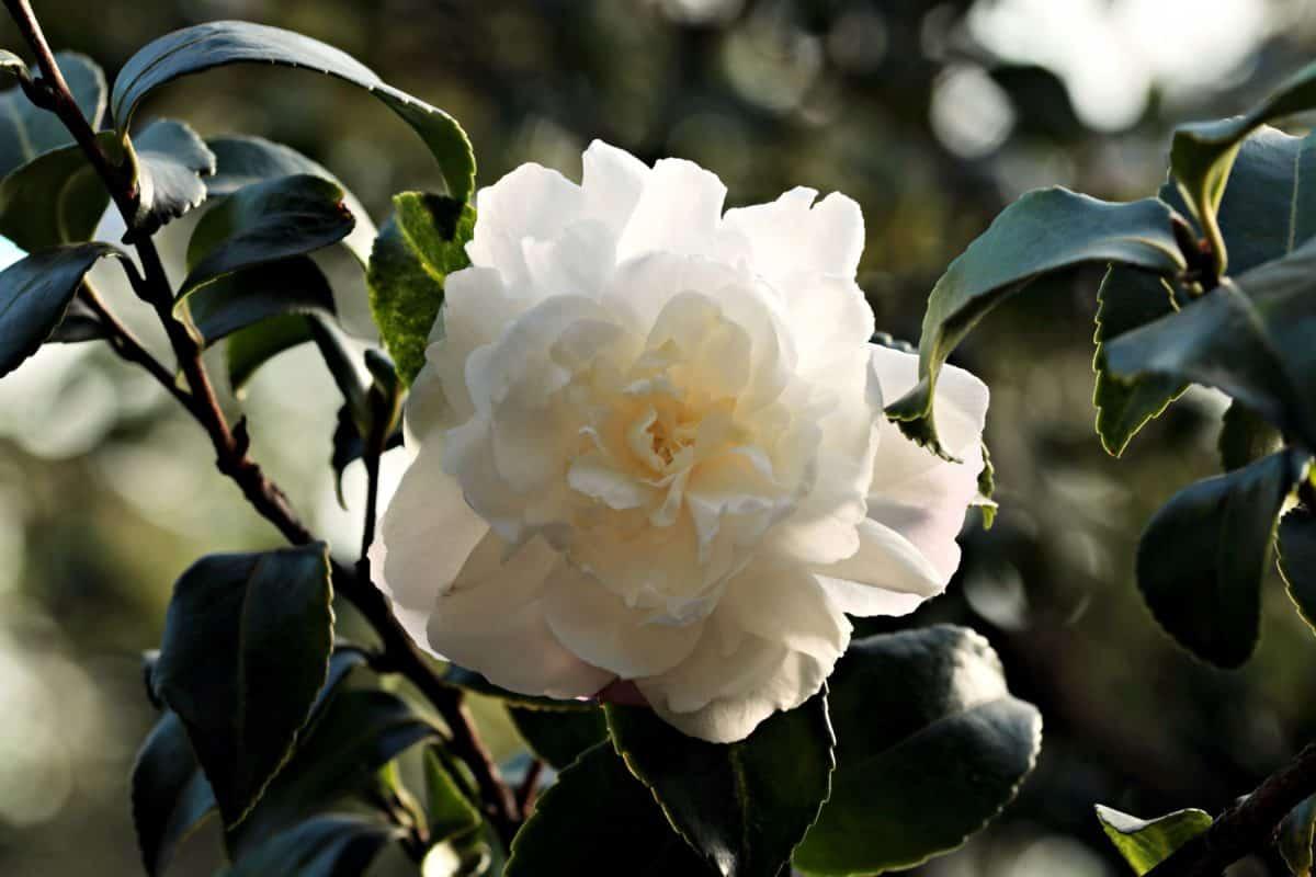 листа, дърво, флора, бели цветя, природа, Градина, роза