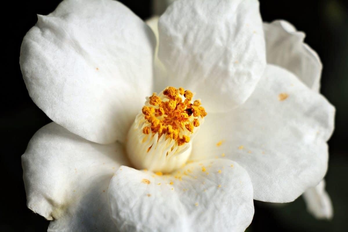 macro photography, white flower, pistil, nature, flora, plant, beautiful