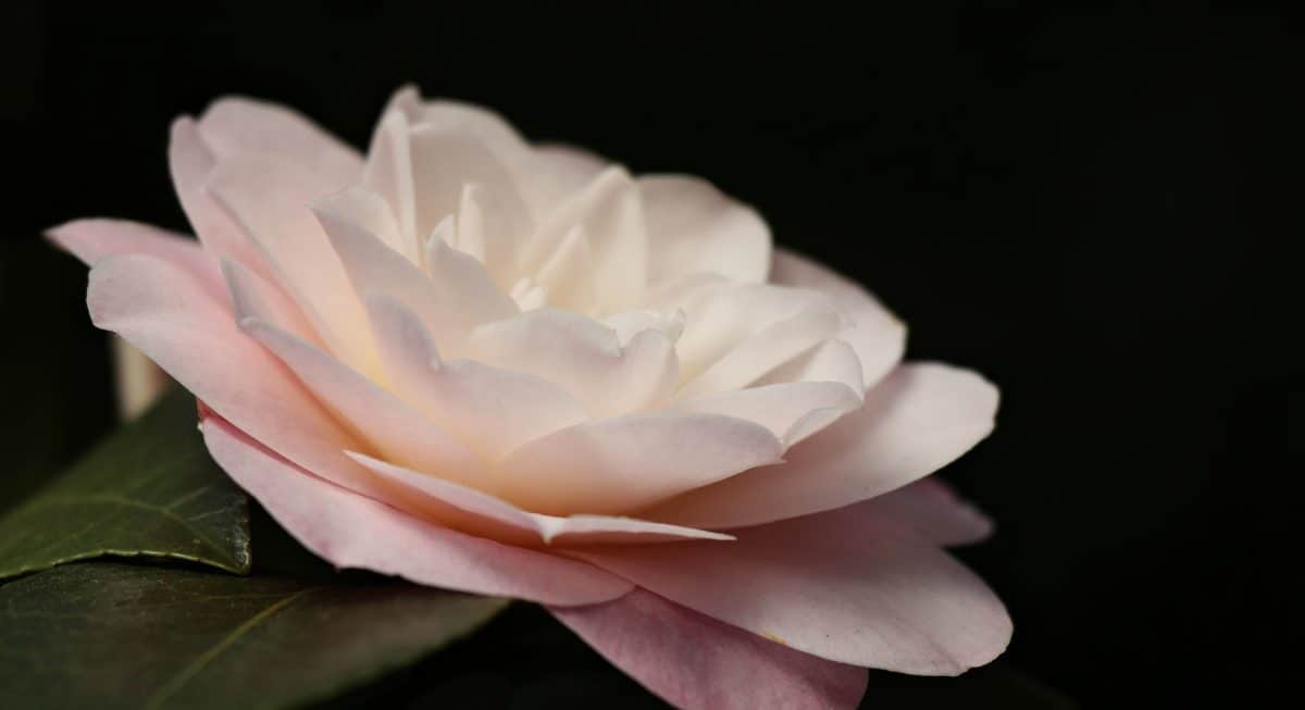 weißer Lotus, Flora, Blatt, Natur, Blume, Rose, Pflanze, Blütenblatt, Rosa, Blüte