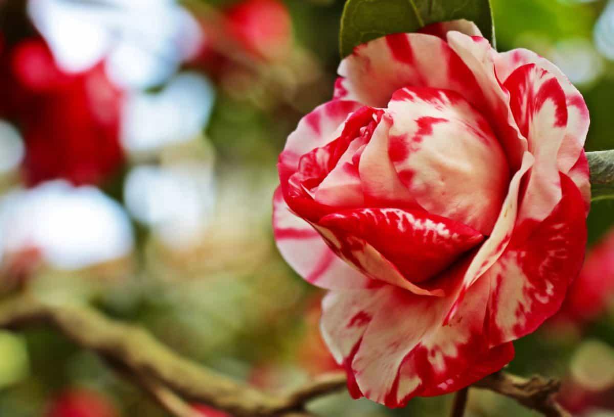 자연, 꽃, 잎, 붉은 장미, 식물, 화려한, 꽃잎, 핑크, 정원