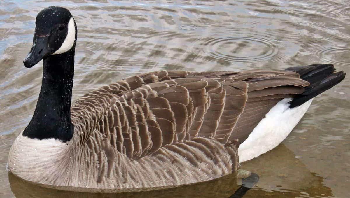 Kanadan goose, vesilinnut, luonto, siipikarjan, vesi, järvi, lintu