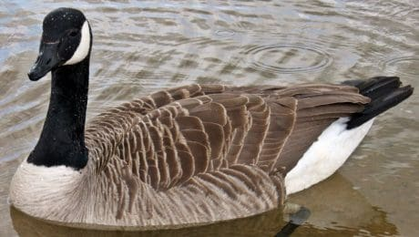 canadian goose, waterfowl, nature, poultry, water, lake, bird