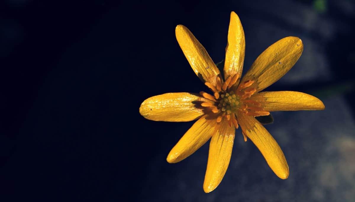 studio photo, flore, fleur jaune, jardin, nature, plante
