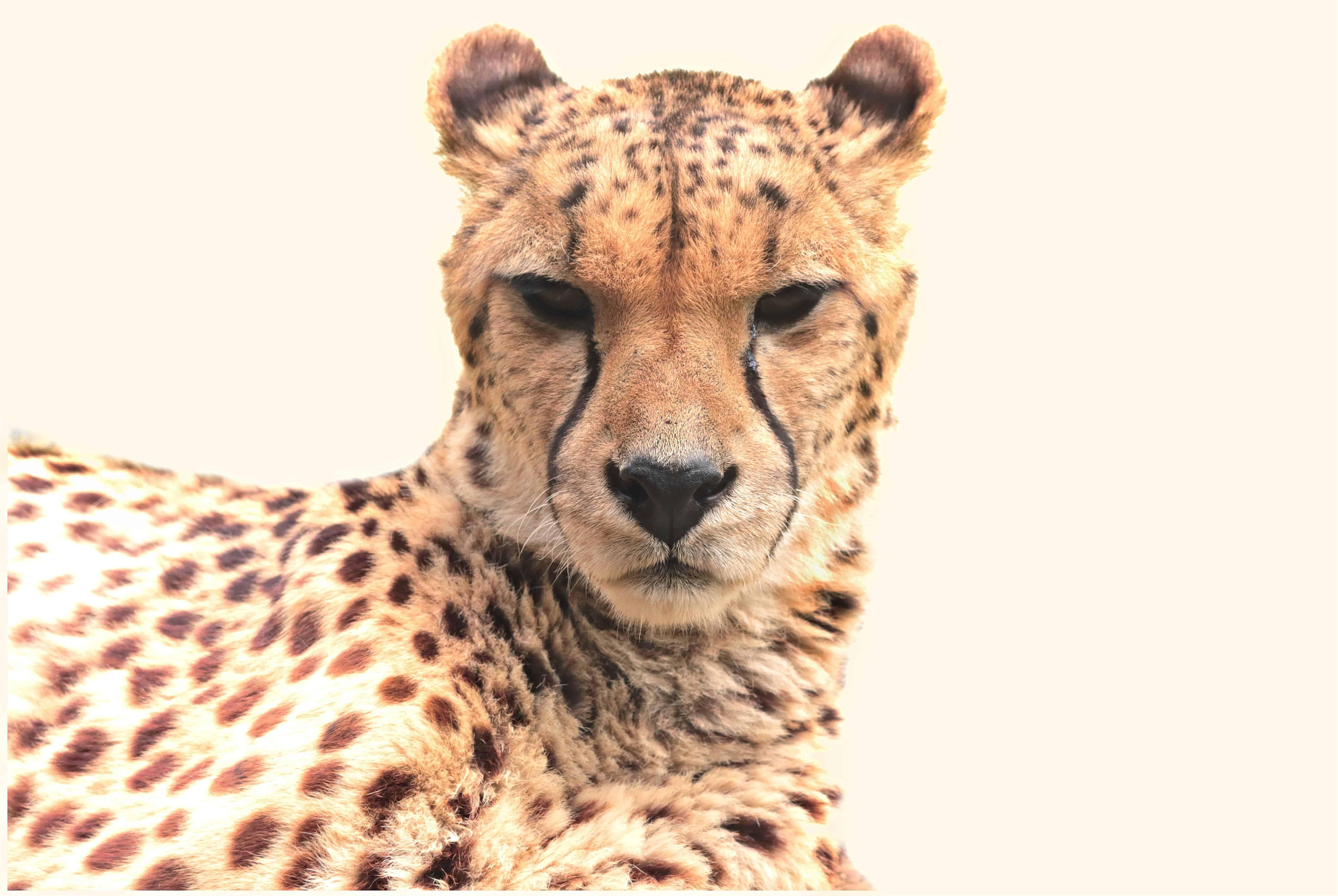 морда леопарда фото рисунок настолько прекрасна