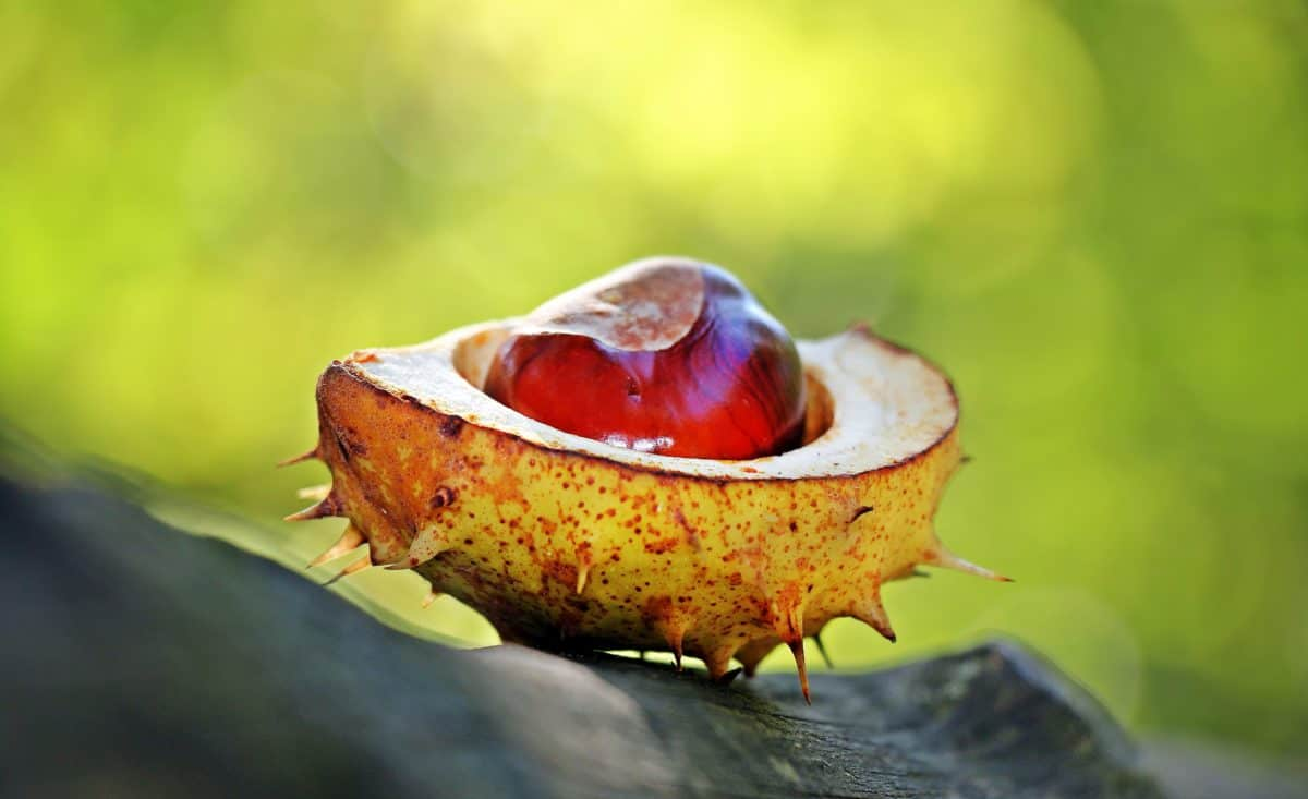 Príroda, gaštan, jeseň, strom, flóra, osiva