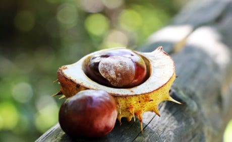 nature, flora, seed, chestnut, autumn, tree
