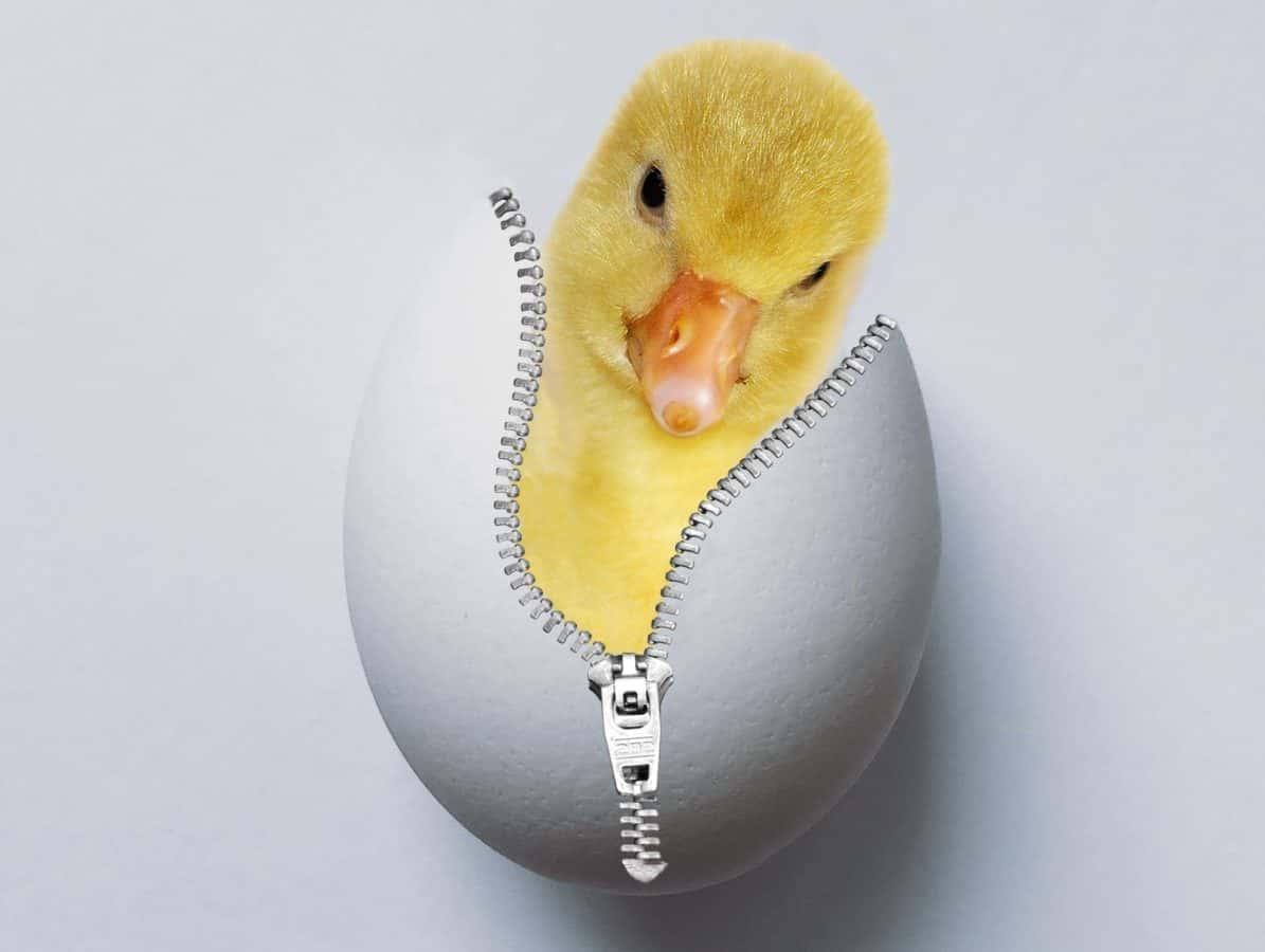 photomontage, coquille d'oeuf, petit canard, canard, art de l'ordinateur
