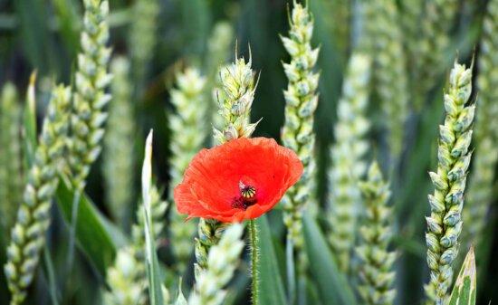 coquelicot, été, spike, flore, l'agriculture, nature, champ, céréales