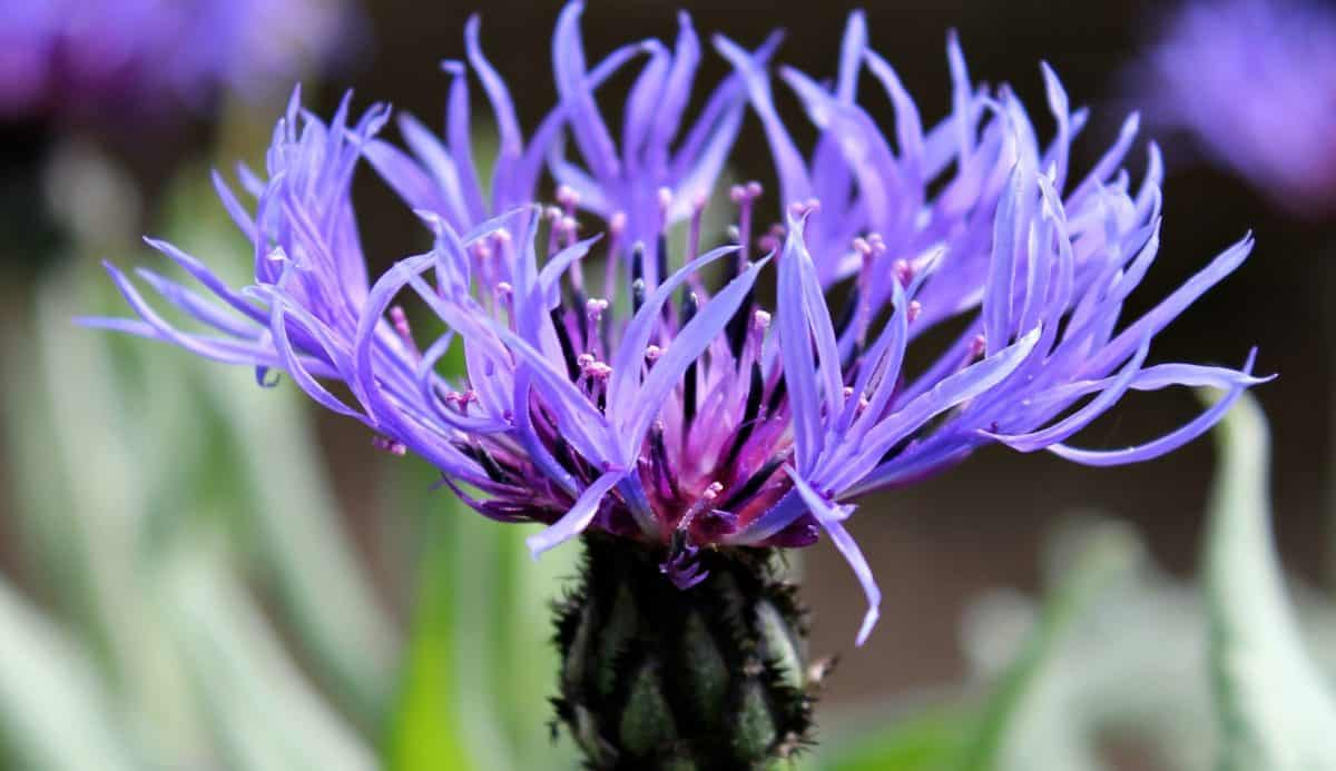 магарешки бодил цвете, лято, растения, природа, флора, дневна светлина, Външен