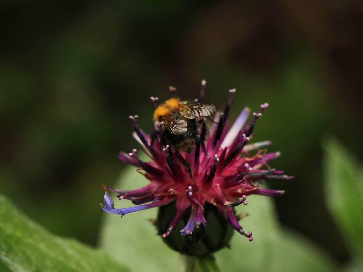 pčela, Metamorfoza, vrt, list, prirodi, ljeto, insekata, pelud, cvijet