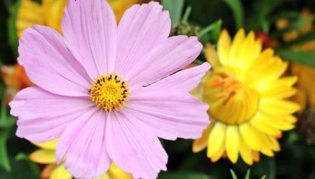l'été, pétale, nature, flore, fleur rose, jardin, plante, fleur