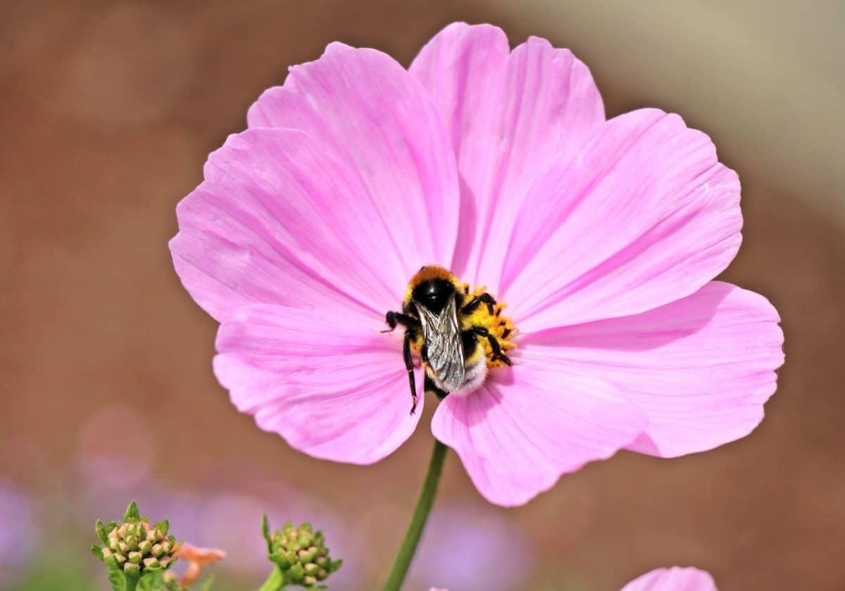 bunga, serbuk sari, serangga, flora, lebah, alam, metamorfosis, tanaman, pink, Taman