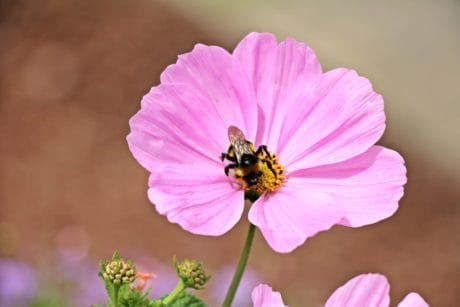bee, insect, flora, nature, flower, pink, plant, blossom, petal, garden