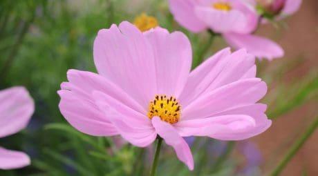 summer, nature, flora, flower, pink, petal, plant, blossom