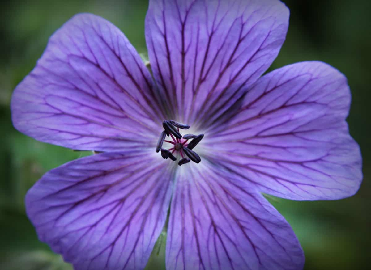 macro fotografía, detalle, púrpura, jardín, flor, naturaleza, flora, horticultura