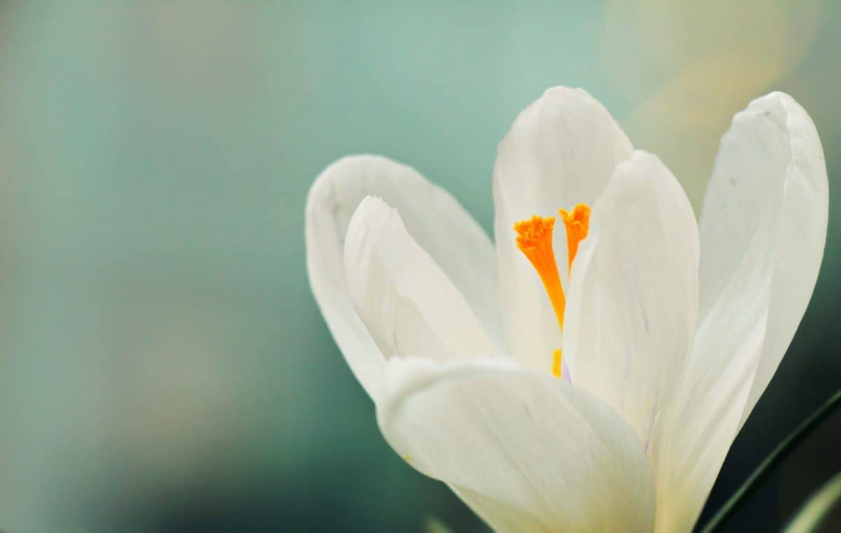 crocus, white flower, leaf, flora, nature, flower, plant, summer, vegetation