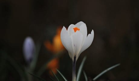 leaf, nature, flora, crocus, white flower, horticulture, plant