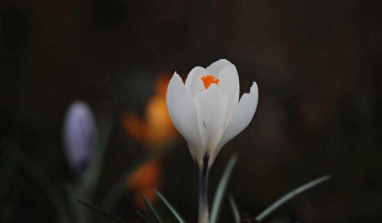 leaf, nature, flora, crocus, white flower, horticulture, plant
