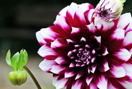 Flora, příroda, petal, list, růžový květ, zahradu, v létě, zahradnictví