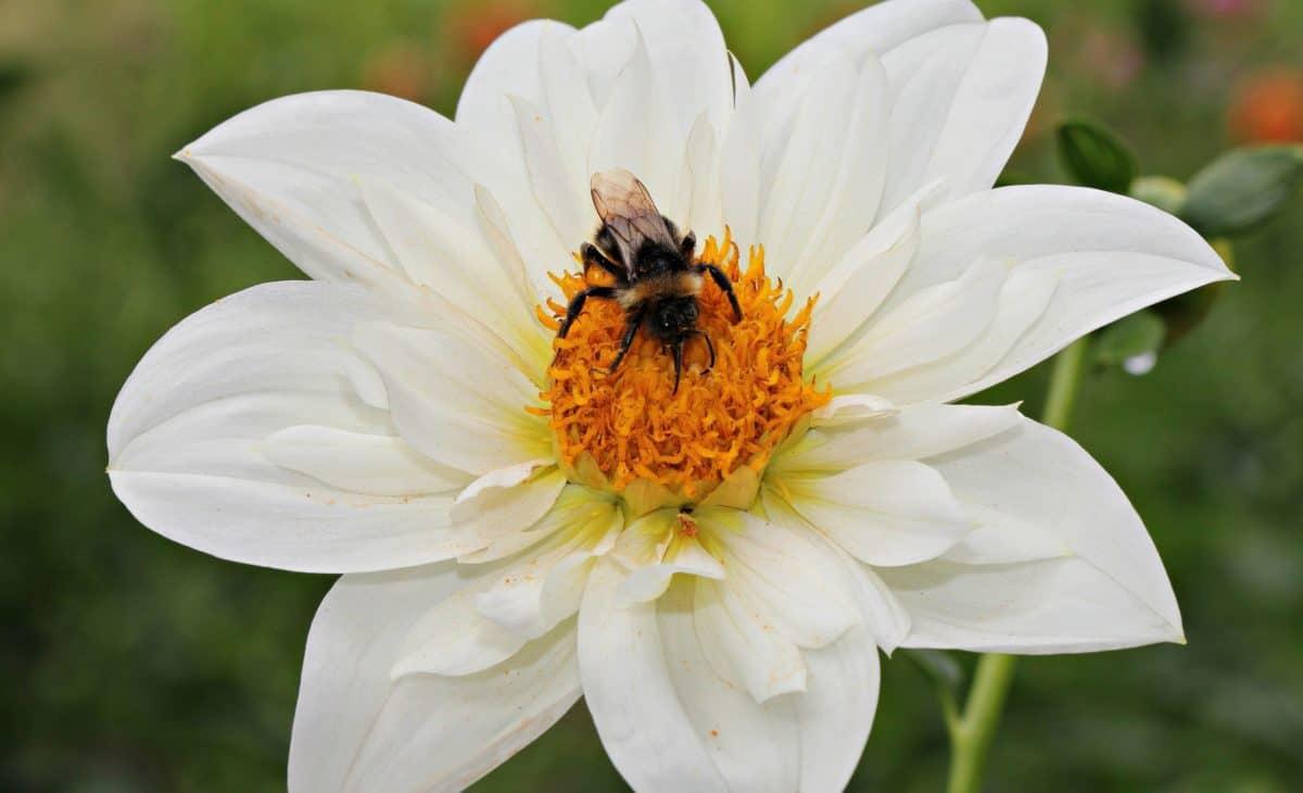 пчела, цвете, лято, Градина, венчелистче, насекоми, природа, флора