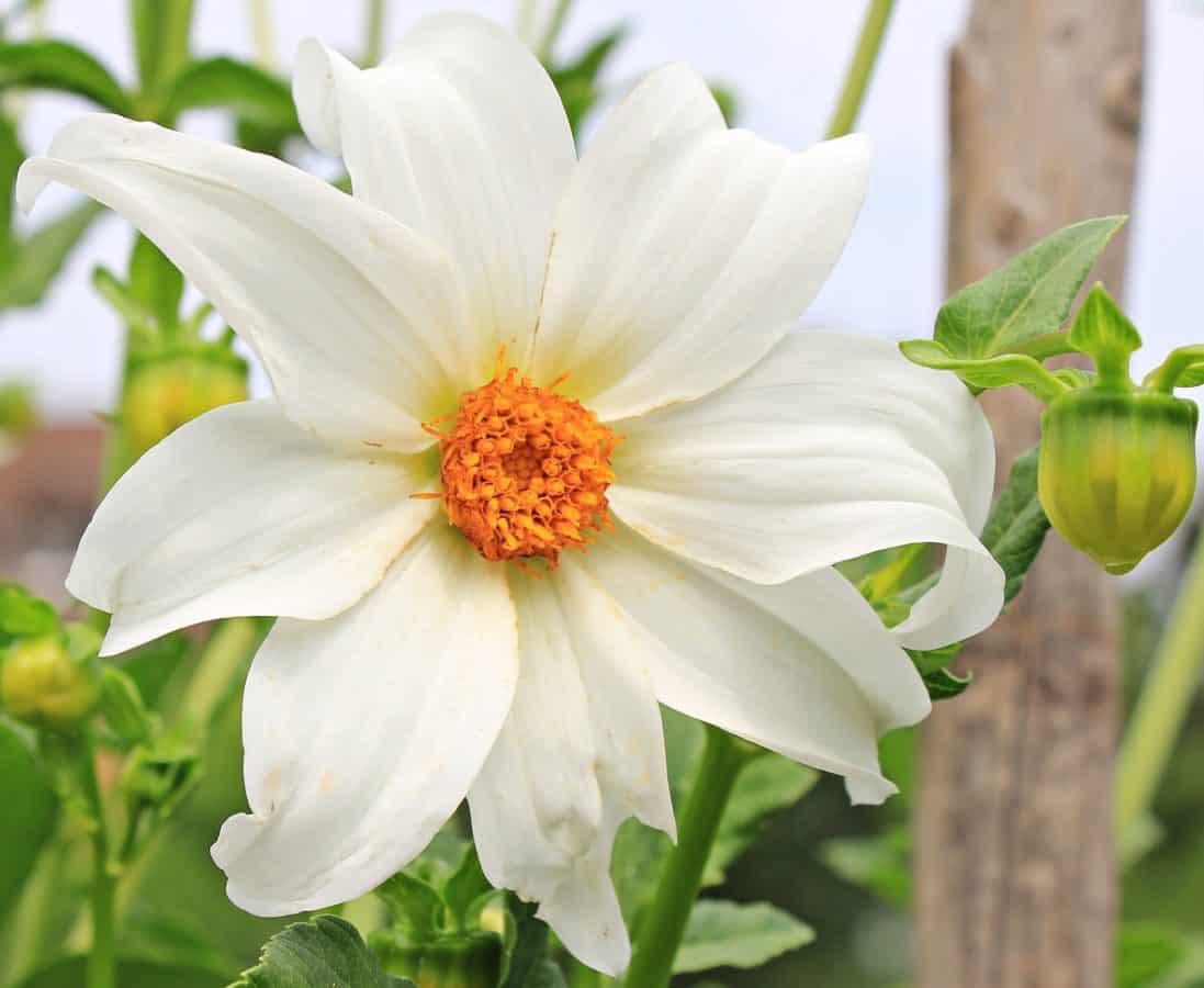 nature, flora, summer, garden, flower, leaf, white flower