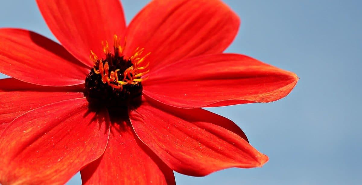 petal, spring, pollen, red flower, nature, pistil, blue sky