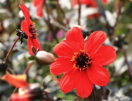 flor roja, jardín, flora, verano, naturaleza, pistilo