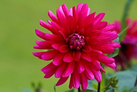 petal, natur, hage, blomst, flora, sommer, rosa, blomst