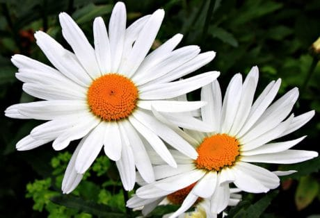 flor, flora, Pétalo, horticultureoutdoor, blanco, plantas, polen