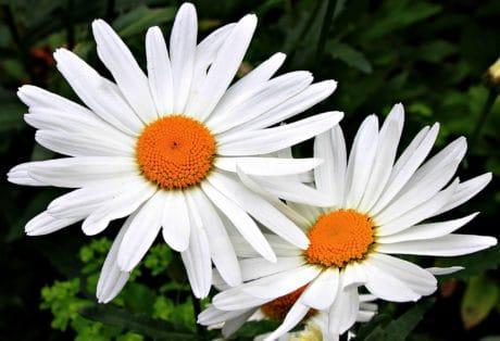 цвете, флора, венчелистче, horticultureoutdoor, бял, завод, цветен прашец