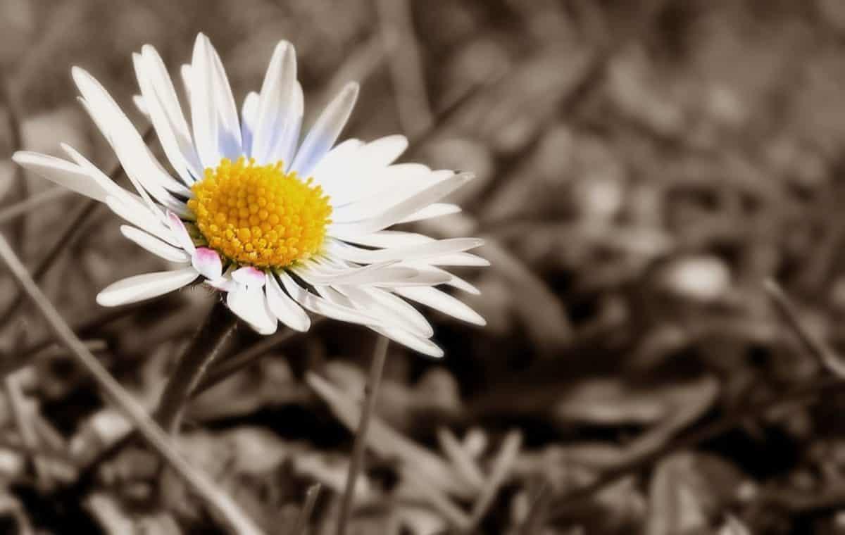 photomontage, sepia, monochrome, white flower, white, plant, pollen, flora, petal