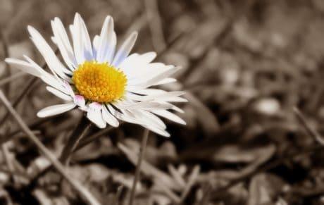 Fotomontaż, sepia, czarno-biały, biały kwiat, biały, roślin, pyłek, flora, Płatek