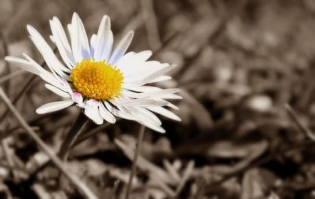fotomontasje, sepia, svart, hvit blomst, hvit, plante, pollen, flora, kronblad