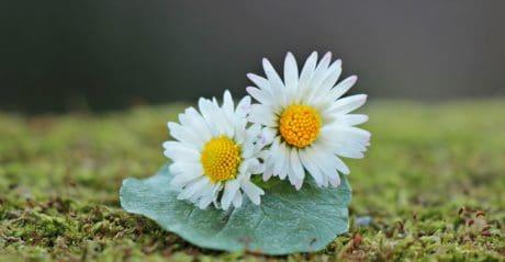 Daisy, flor, jardim, verão, folha, planta, erva, flor