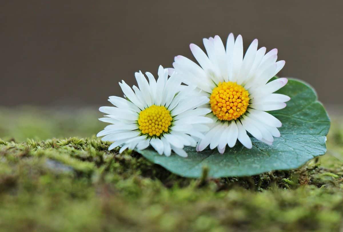 Margarita, flor, planta, hierba, flor, jardín, verano, hojas