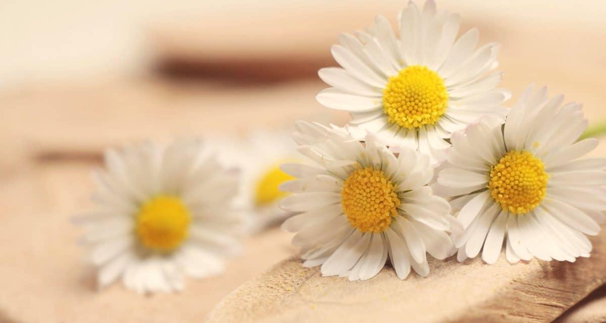 nature morte, fleur, nature, été, flore, camomille, plante, fleur